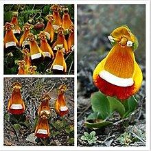 C-LARSS 50 Stück Seltene Calceolaria Pflanze