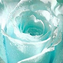 C-LARSS 55Pcs Hellblau Romantische Rosensamen,