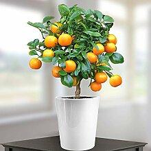 Calamondin-Orange mit Früchten - 1 baum
