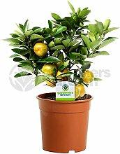 Calamondin Orangenbaum - 1 Zimmerpflanze –