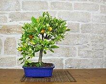 Calamondino citrus bonsai tree (56)