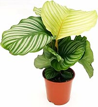 Calathea Orbifolia, Maranta, echte Pflanze