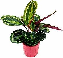 Calathea Rose Medaillon, aus Keramikvase,