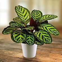 Calathea roseopicta - 1 pflanze