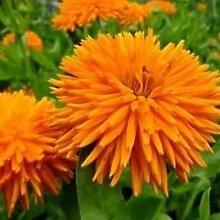 CALENDULA ORANGE PORCUBINE Blume blüht Grenze Kraut 200+ Samen