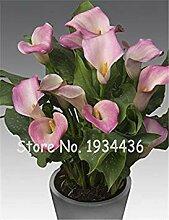 . Calla-Lilien-Raum Blumen Luft-Pflanze Seltene