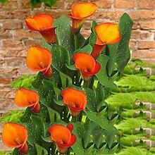 Calla pflanze,Die BläTter Sind SmaragdgrüN Mit