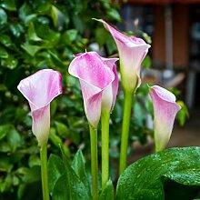 Calla Pflanze,Großartig, charmant,Besonders