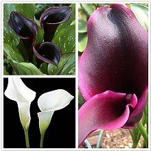 Calla Pflanze,Wunderschöner und einzigartiger