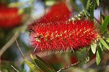Callistemon Australischer Lampenputzer Zylinderputzer Zierpflanze Zitronenduft - verschiedene Größen (100-120cm - Topf 30cm)