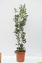 Callistemon Australischer Lampenputzer Zylinderputzer Zierpflanze Zitronenduft - verschiedene Größen (140+cm - Topf 8,4 Ltr.)