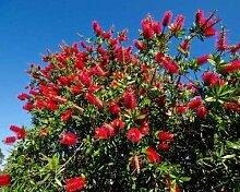 Callistemon citrinus RED Putzer Seeds