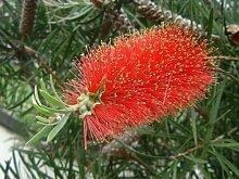 Callistemon rigidus HARDY RED Putzer Seeds