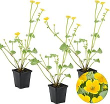 Caltha Palustris   Sumpfdotterblume 3x -