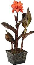 Canna 'Julia' - Teichpflanze im