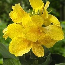 Canna 50cm, /-,Blumenohr, Gartenpflanze, Kübelpflanze