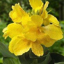Canna 50cm, /-,Blumenohr, Gartenpflanze,