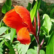 Canna Blumenrohr Rhizom Blumen