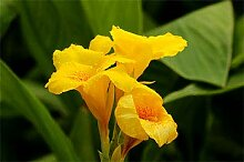 Canna CannaZwiebeln Hohe Keimrate Pflanze im