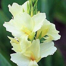 Canna Lilie Tropical weiße Zwerg Pflanze Blume