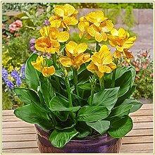 Canna-Lilien schöne Blumensamen, orientalische