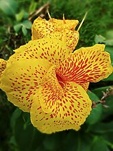 Canna pflanze ,Bunt, kann als schöne