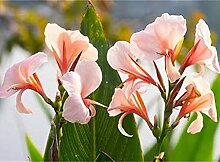 Canna pflanze knolle/Canna-Lilien schöne