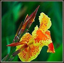 Canna Pflanze Knolle,Der Charme Der Aufrechten