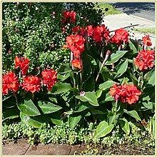 Canna pflanze knolle/Frühlingsgartenpflanzen,