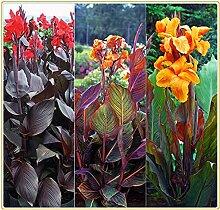 Canna pflanze knolle/Sommerblumen/Starke