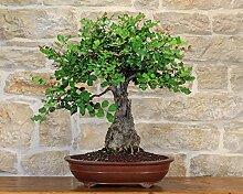 Carob bonsai tree (34)
