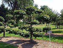 Carpinus betulus - NR. 4447