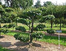 Carpinus betulus - NR. 4448