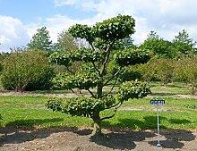 Carpinus betulus - Nr. 4472