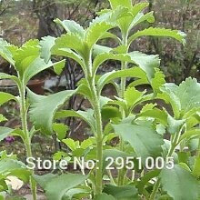 Casavidas 100 Stevia rebaudiana sweetleaf Diabetic