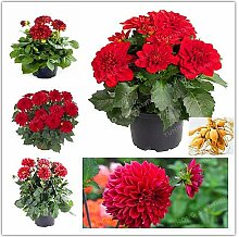 Casavidas 2 Birnen wahre rote Dahlie Birnen Blume,