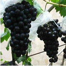 Casavidas 200 schwarze Traube Garten seltene bunte