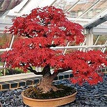 Casavidas 30 Partikel Schöne Japanische Rote