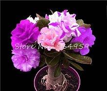 Casavidas 5 PC/bag Bonsai Desert Rose