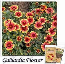 Casavidas Gaillardia Blume Bonsai-Garten-Raum