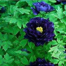 Casavidas Seltene Peony Samen Garten-Blumen-Samen
