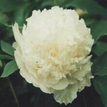 Casavidas Späte White Flower China & # 39; s