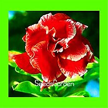 Casavidas Verlust Förderung! 1 PCS Desert Rose