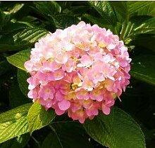 Casavidas ZLKING Garten Geranium Pelargonium