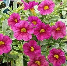 Casavidas ZLKING Garten-Petunie Petunia Blume