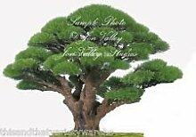 Casuarina equisetifolia Australian Kiefer Samen