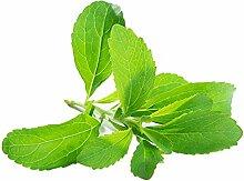 Catkoo Samen,Stevia Rebaudiana Samen Natürliche