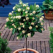 Cephalanthus occidentalis | Kugelblume Hochstamm |