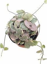 Ceropegia woodii f. variegata gestreifte