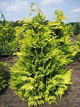 Chamaecyparis lawsoniana 'Golden Wonder' -